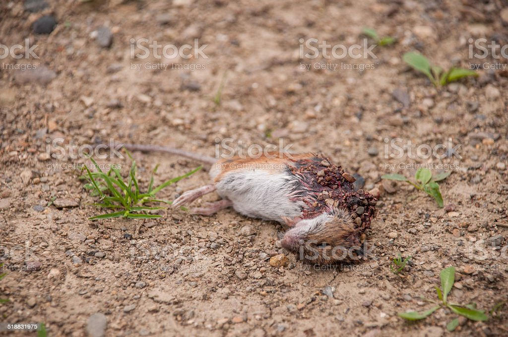 One dead mouse stock photo