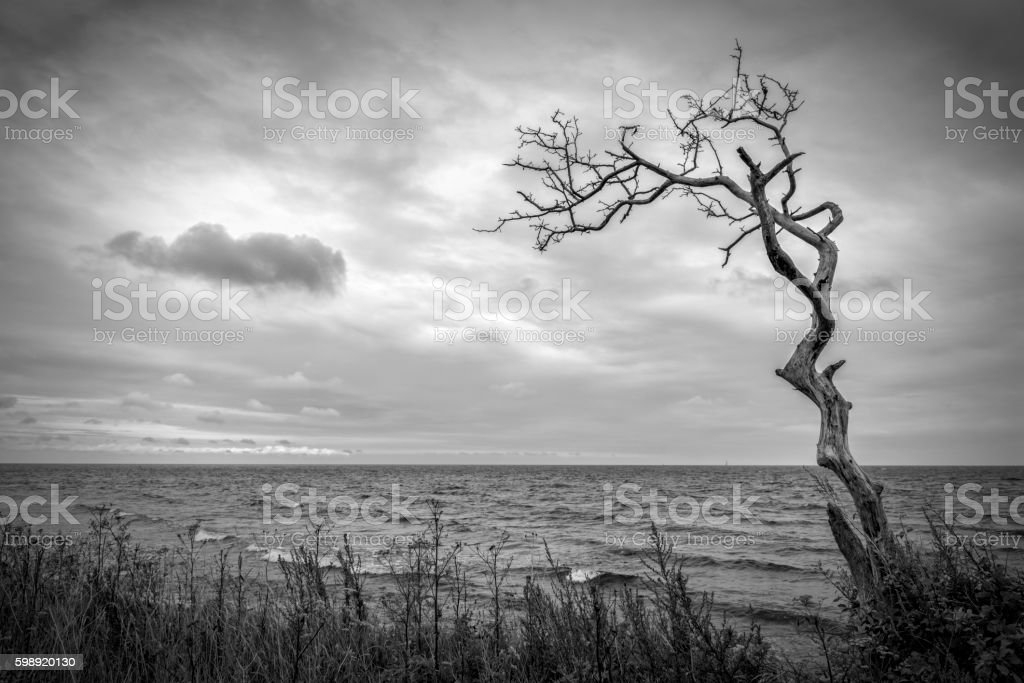 One dead tree at the sea stock photo