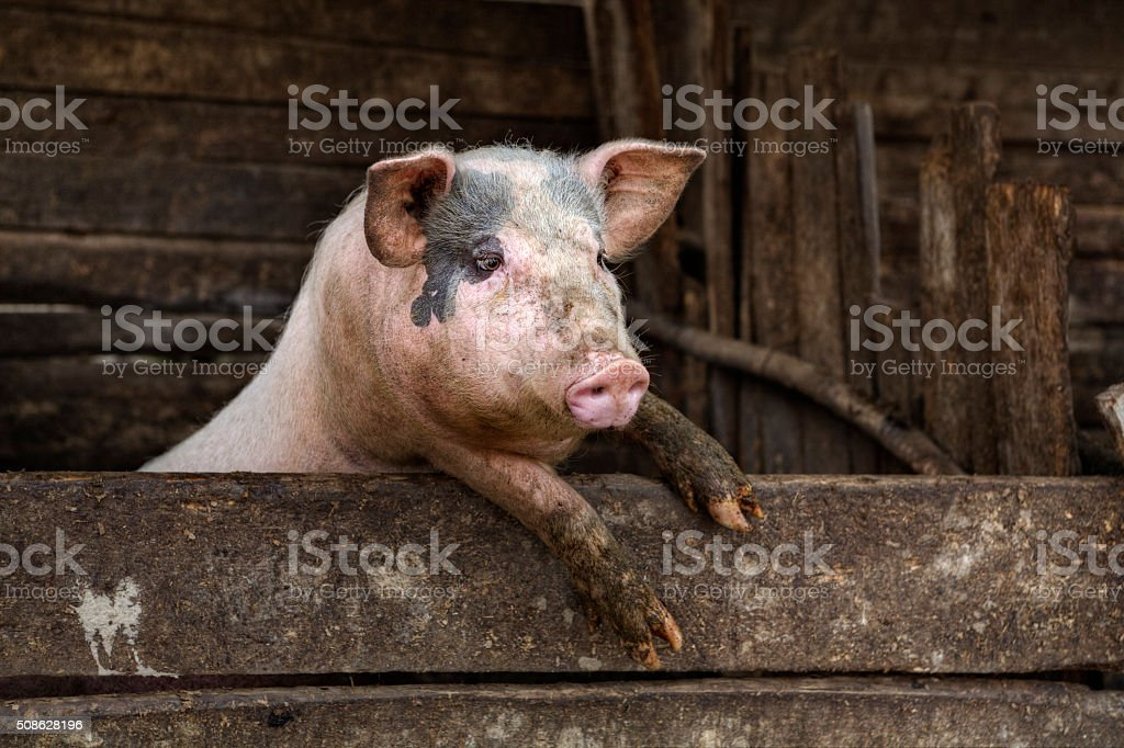 One dirty pig hanging on a fence. stock photo