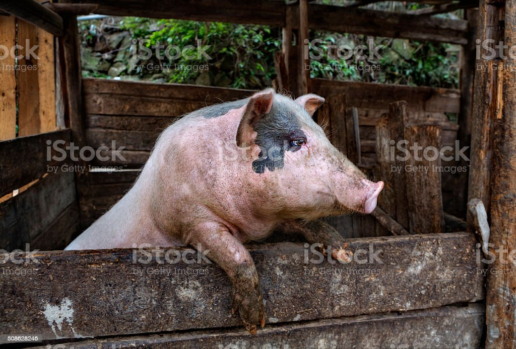 One dirty pig stand on hind legs. stock photo