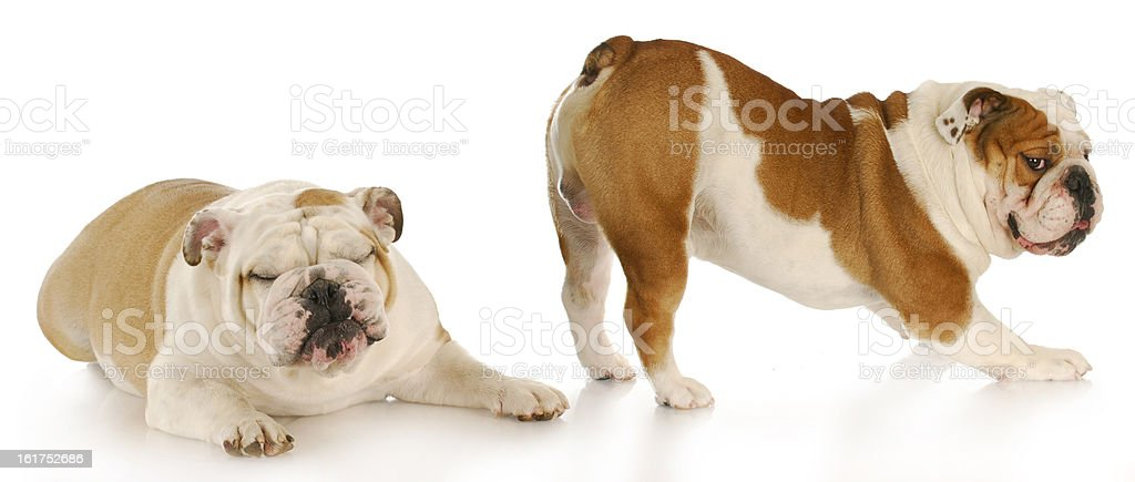 One dog sticking his butt out and the other looking away stock photo