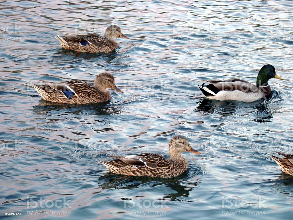 One Drake Followed by Four Female Mallards in Water royalty-free stock photo
