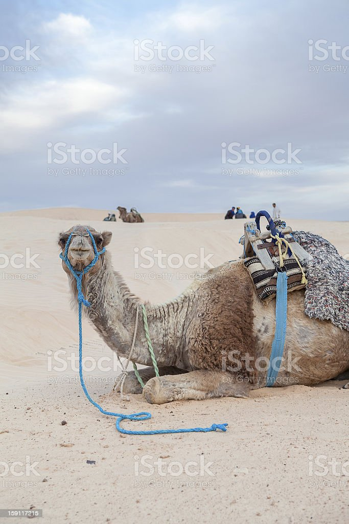 One dromedary camel laying on sand dune in desert royalty-free stock photo