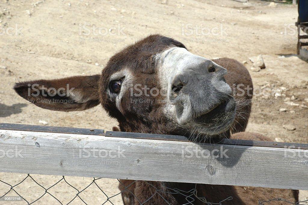One Eared Donkey royalty-free stock photo