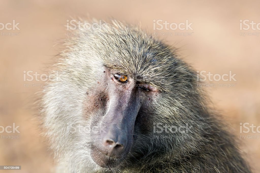 One eye blind Baboon royalty-free stock photo