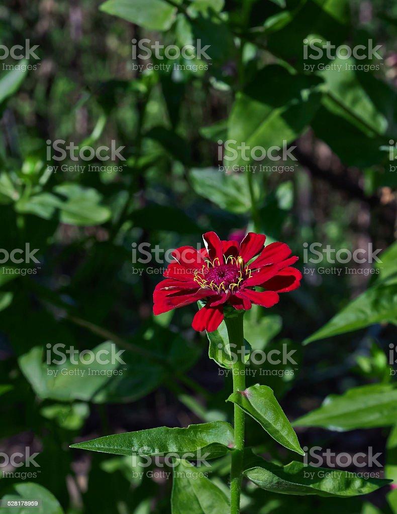 one flower tithonia royalty-free stock photo
