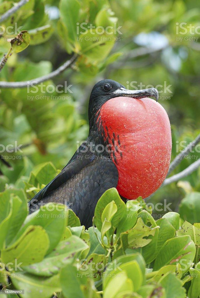 one frigate bird male in mangrove tree stock photo
