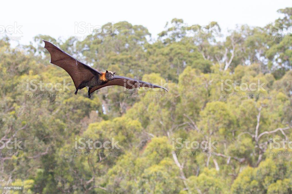 One Fruit Bat Flying stock photo