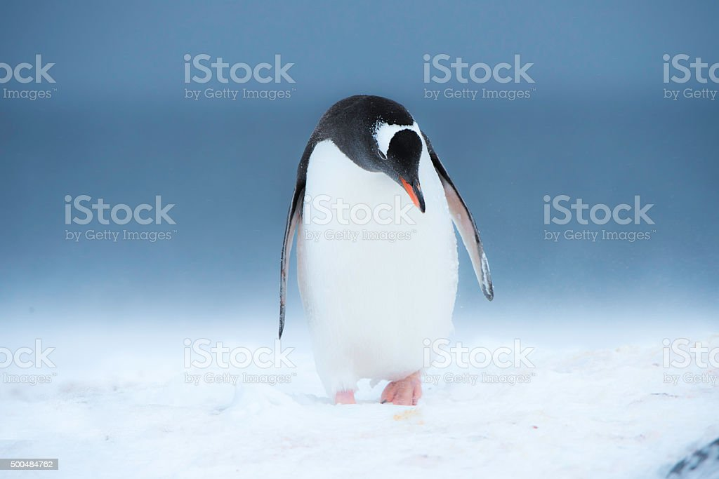 One gentoo penguin in blowing snow stock photo