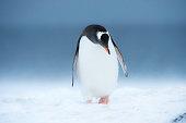 One gentoo penguin in blowing snow
