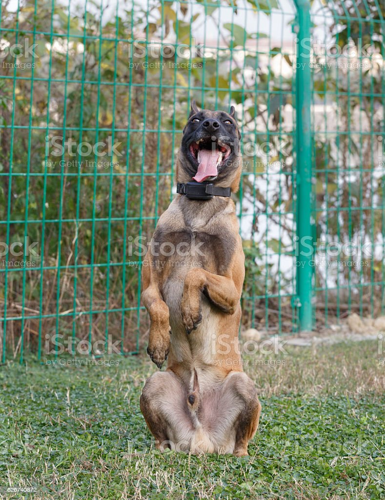 One Germany Shepherd Dog crouched on the grass stock photo
