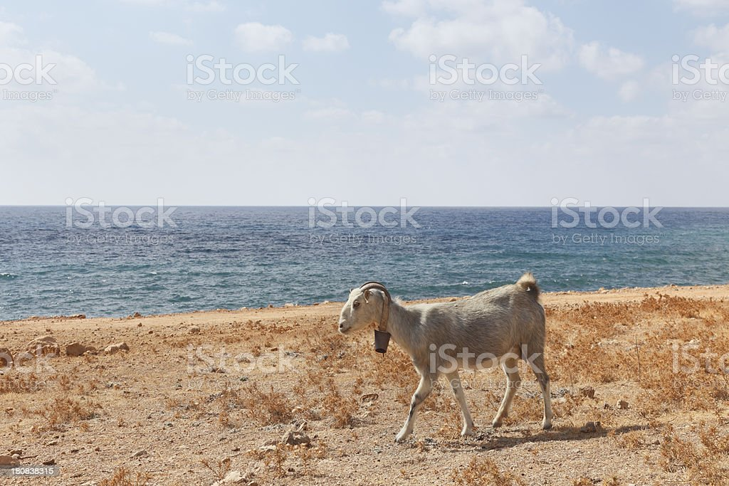 one goat at lonely sand mediterranean Lara Beach  Cyprus stock photo