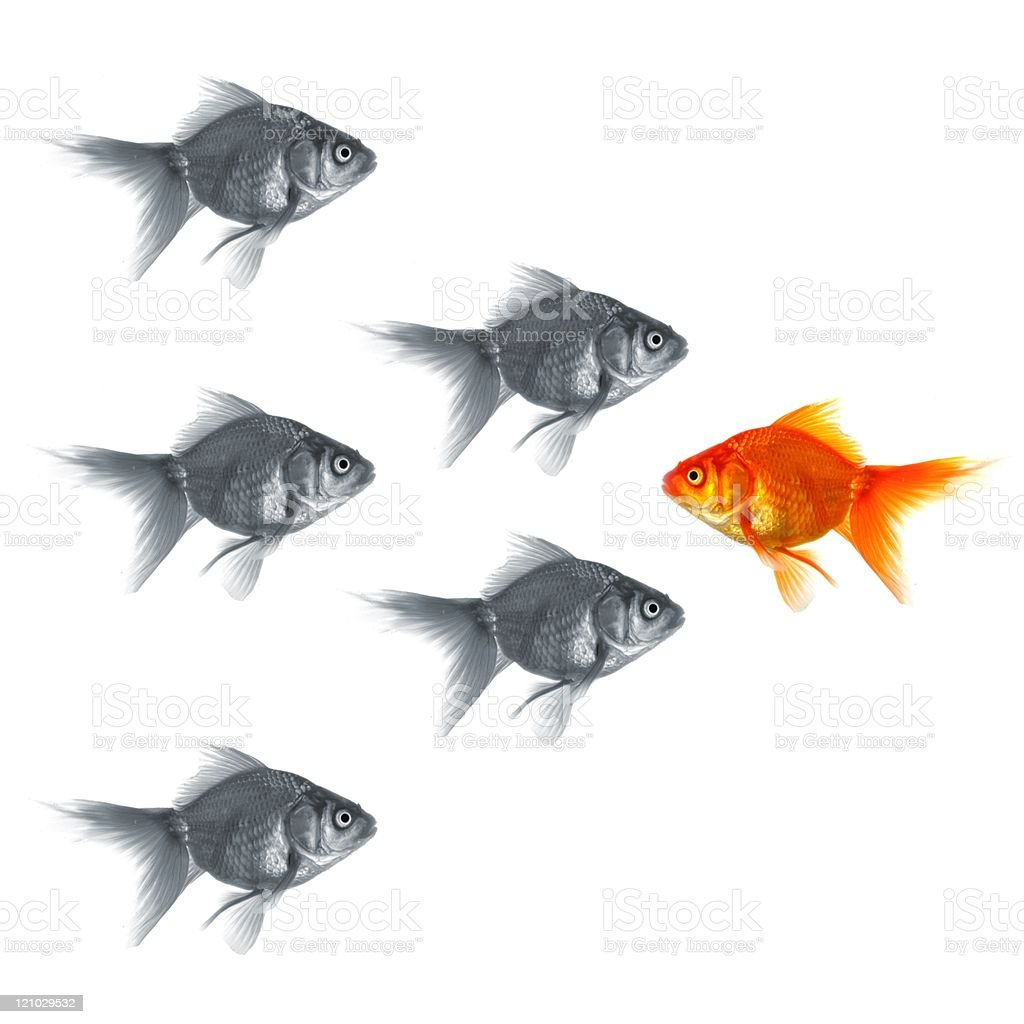 One gold fish stands out in a group of grey fish royalty-free stock photo