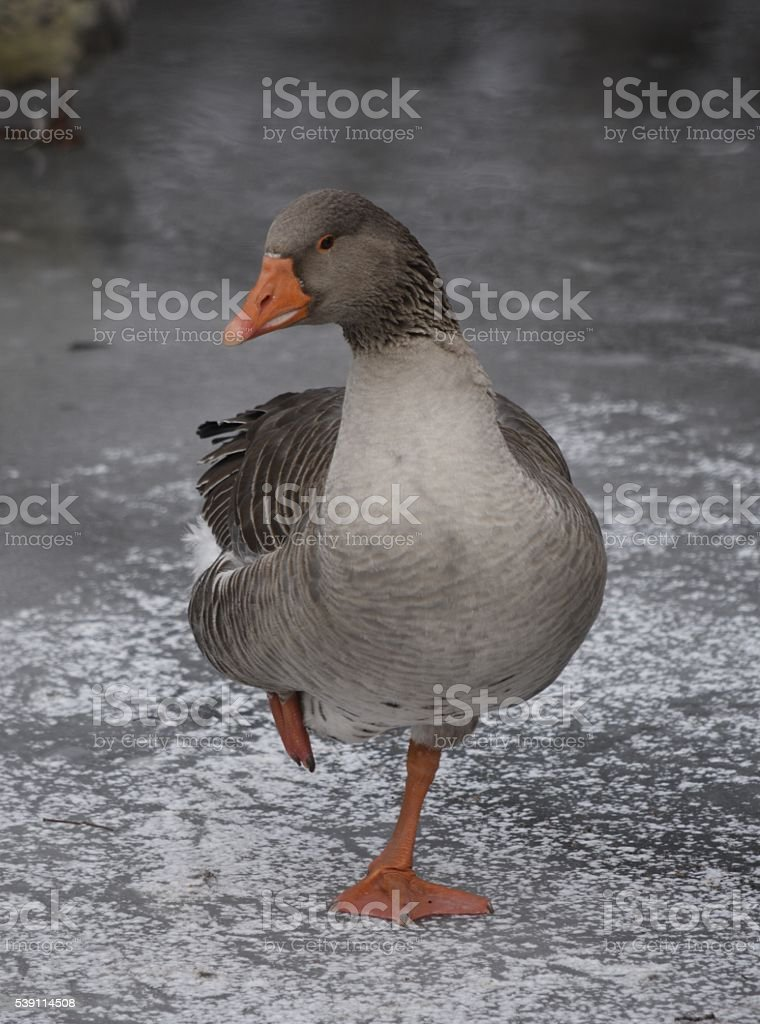 One Goose stands on one leg on an icy lake stock photo