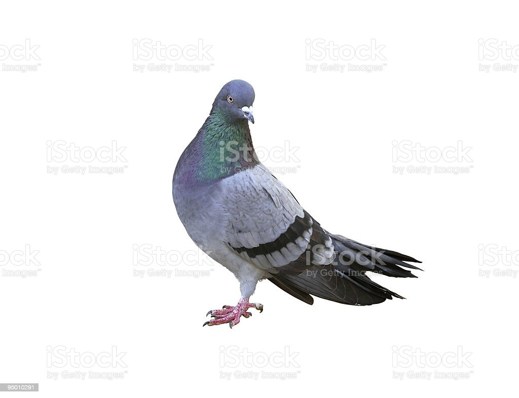 One grey pigeon isolated on white stock photo