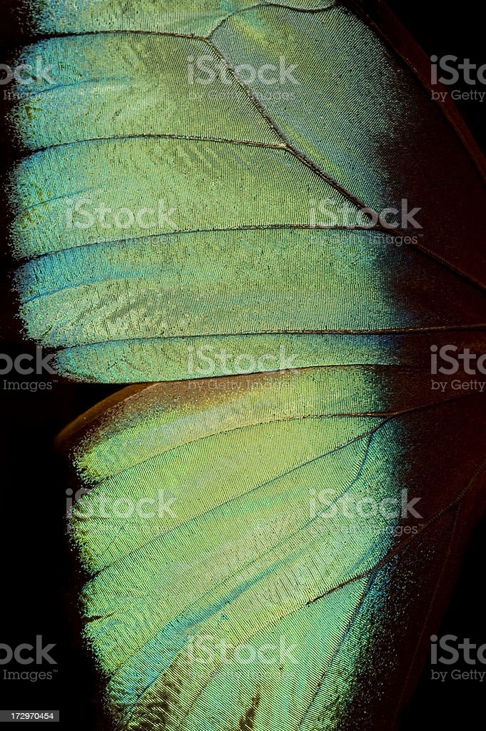 One half of a blue and green butterfly stock photo