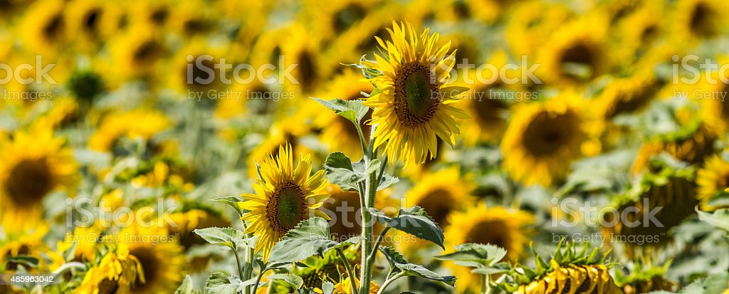 one high up sunflower in its field of summer flowers stock photo