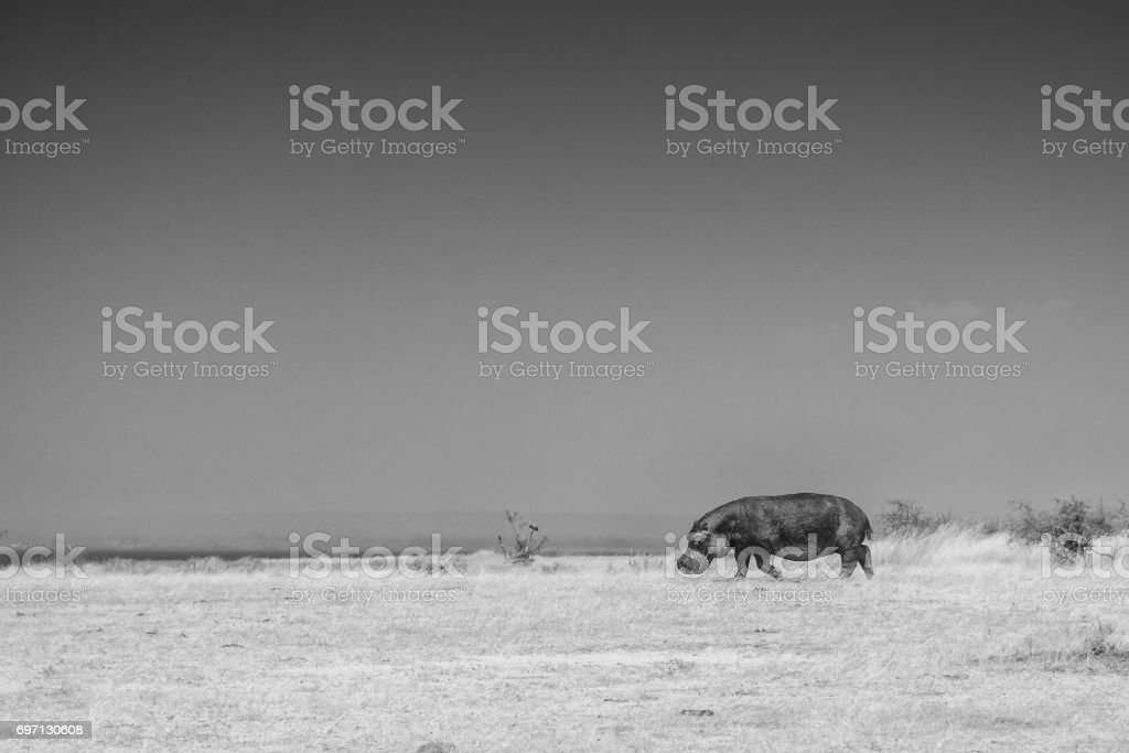 One hippo all alone, walking toward the water after a night of grazing, Murchison Falls National Park, Uganda stock photo