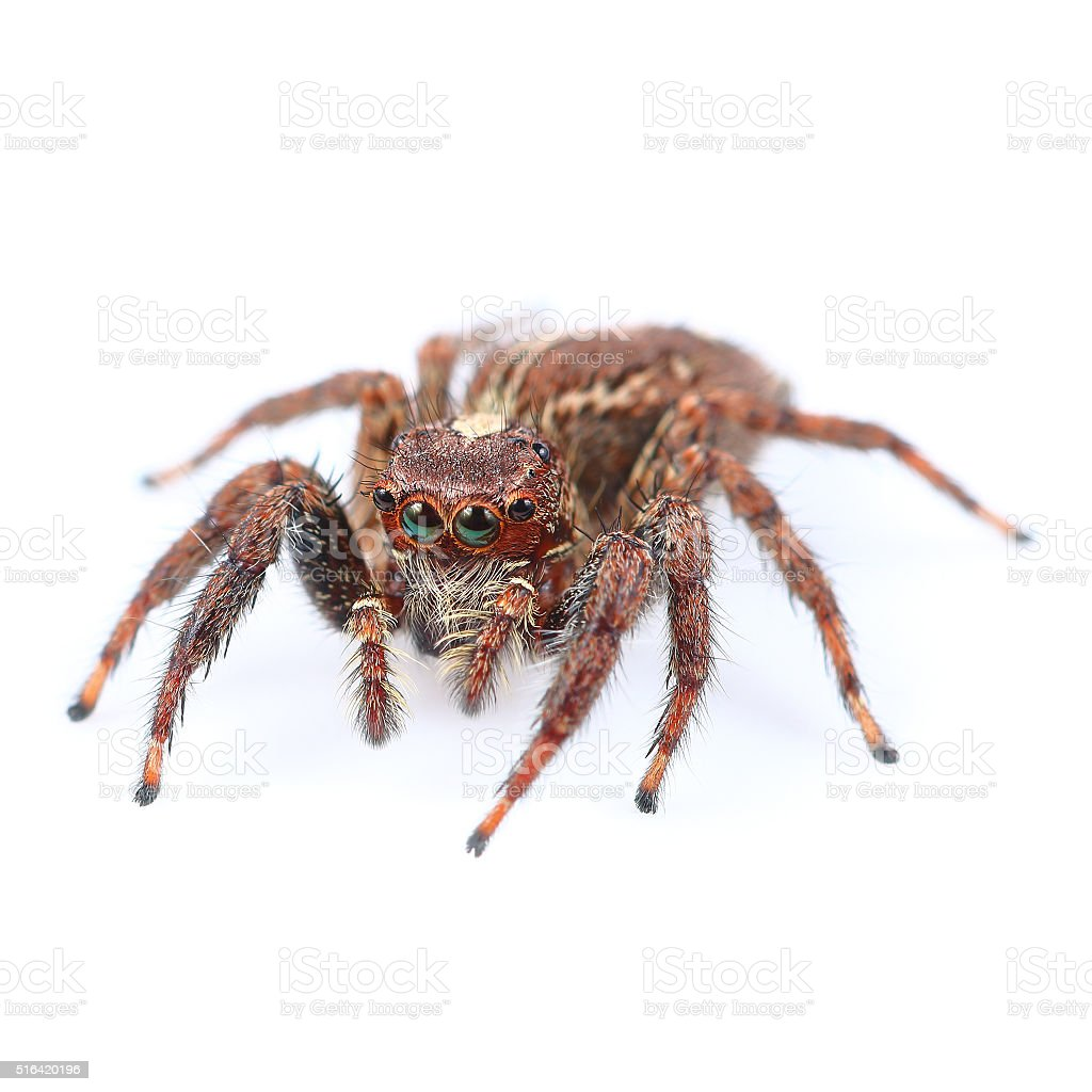 One home spider isolated on white stock photo