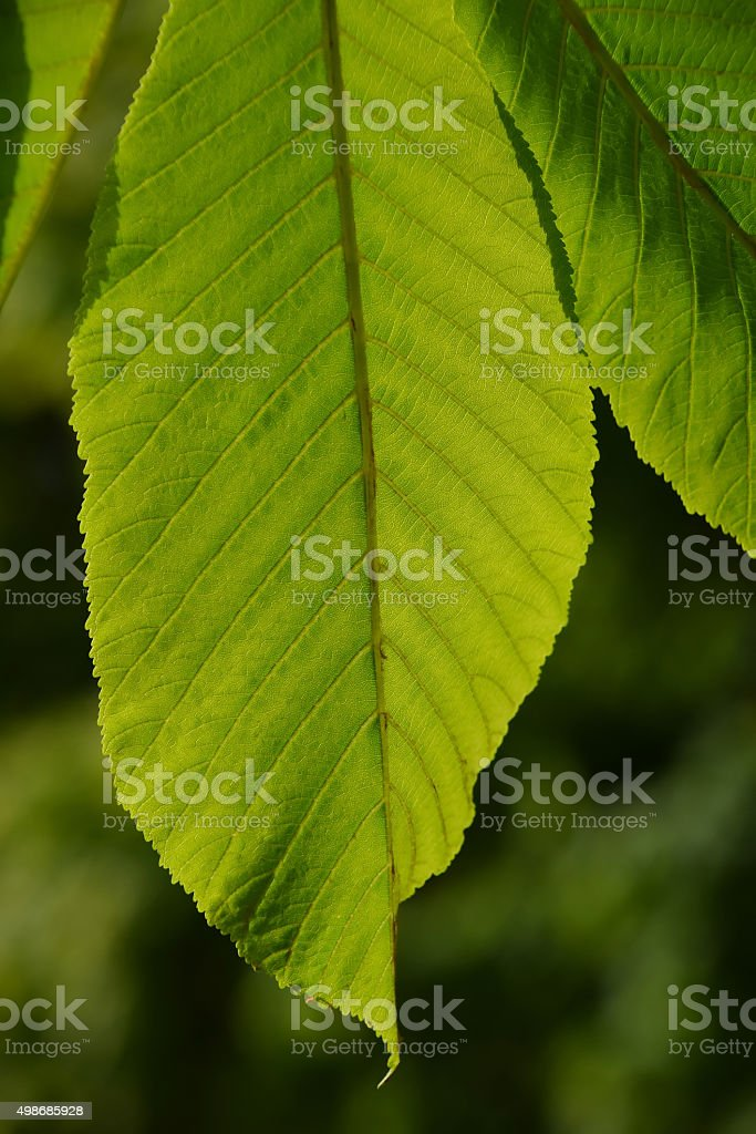 One horse chestnut green leaf in back lighting on green royalty-free stock photo