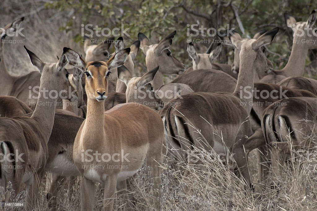 One Impala Stands out from a  Group stock photo