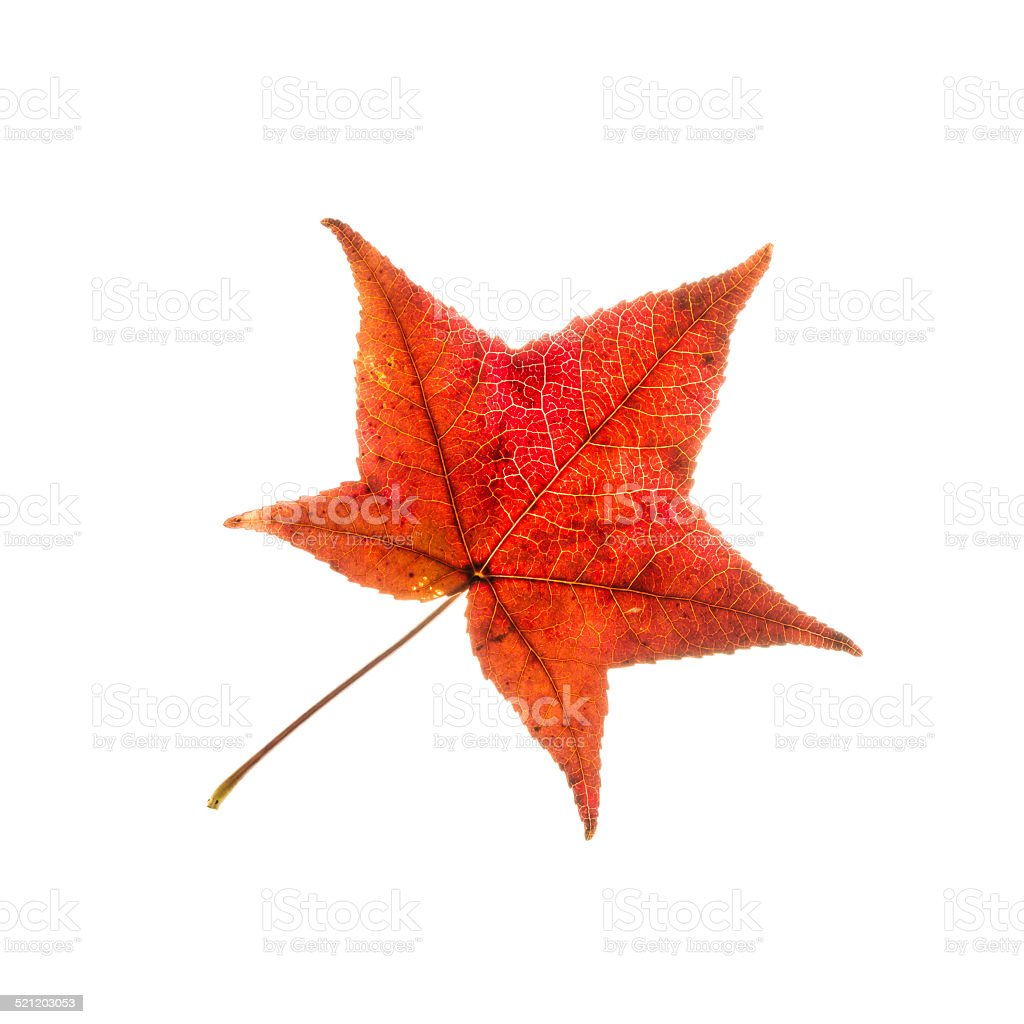 One isolated red autumn leaf stock photo