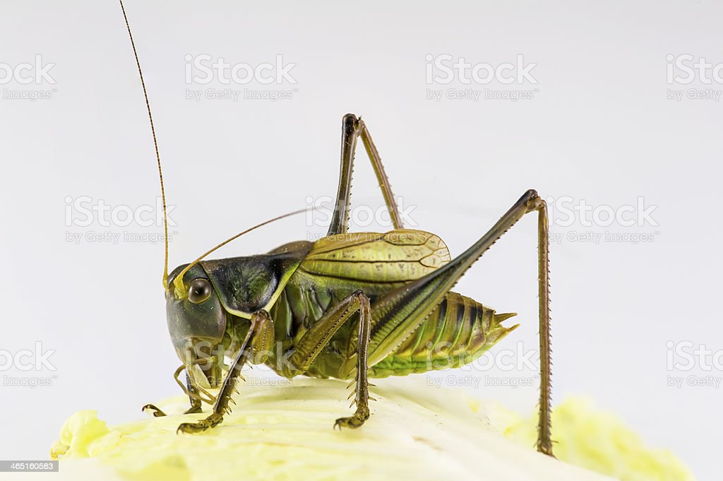 One katydid stay on the  cabbage leaf royalty-free stock photo