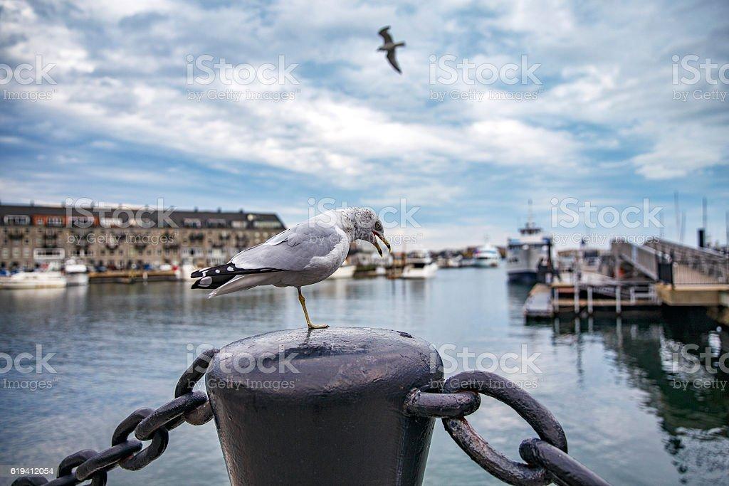 one legged seagull in harbor stock photo