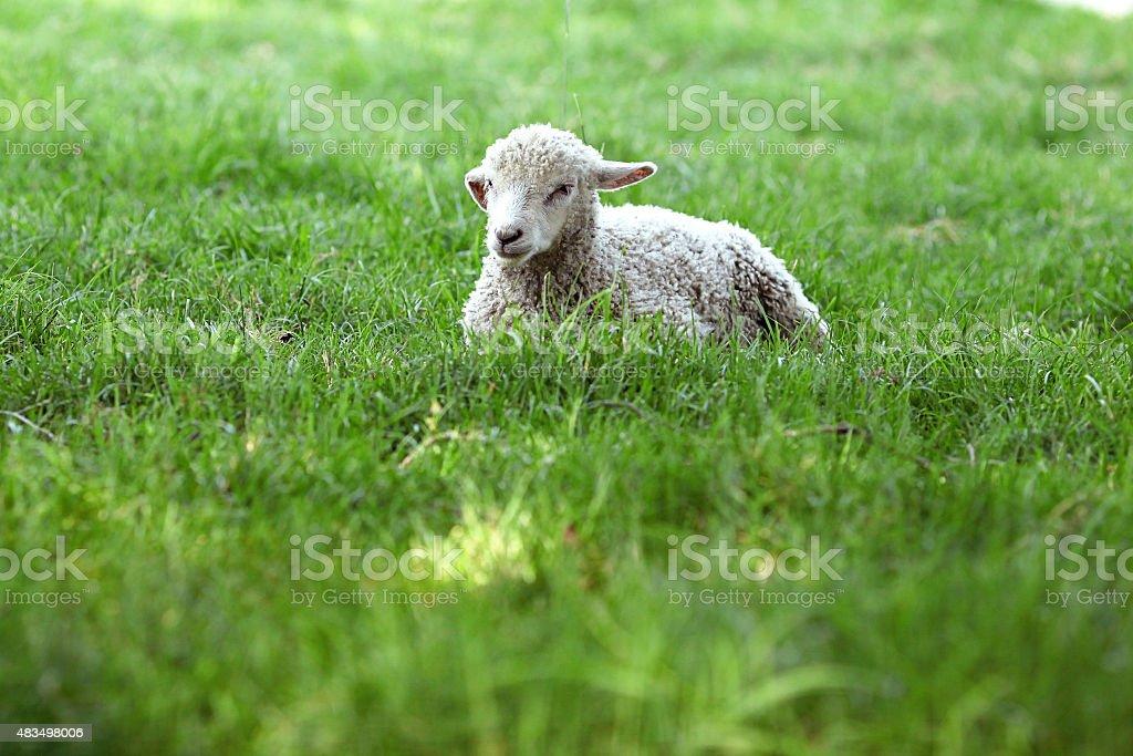 One Little Lamb stock photo
