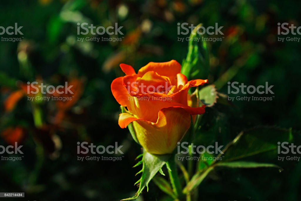 one little rose royalty-free stock photo