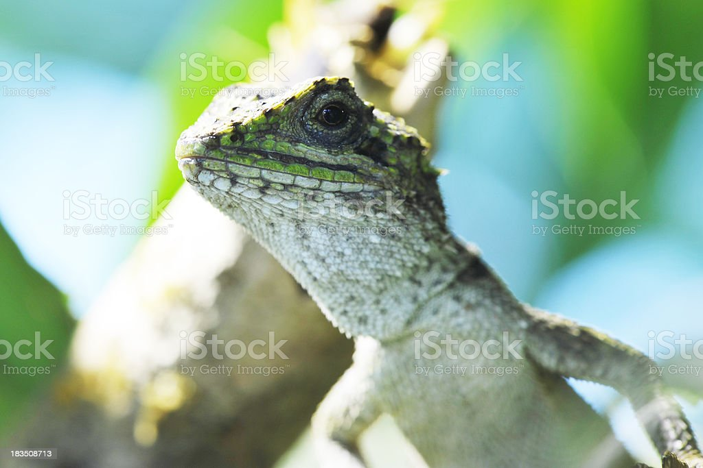 One lizard observing the photographer stock photo