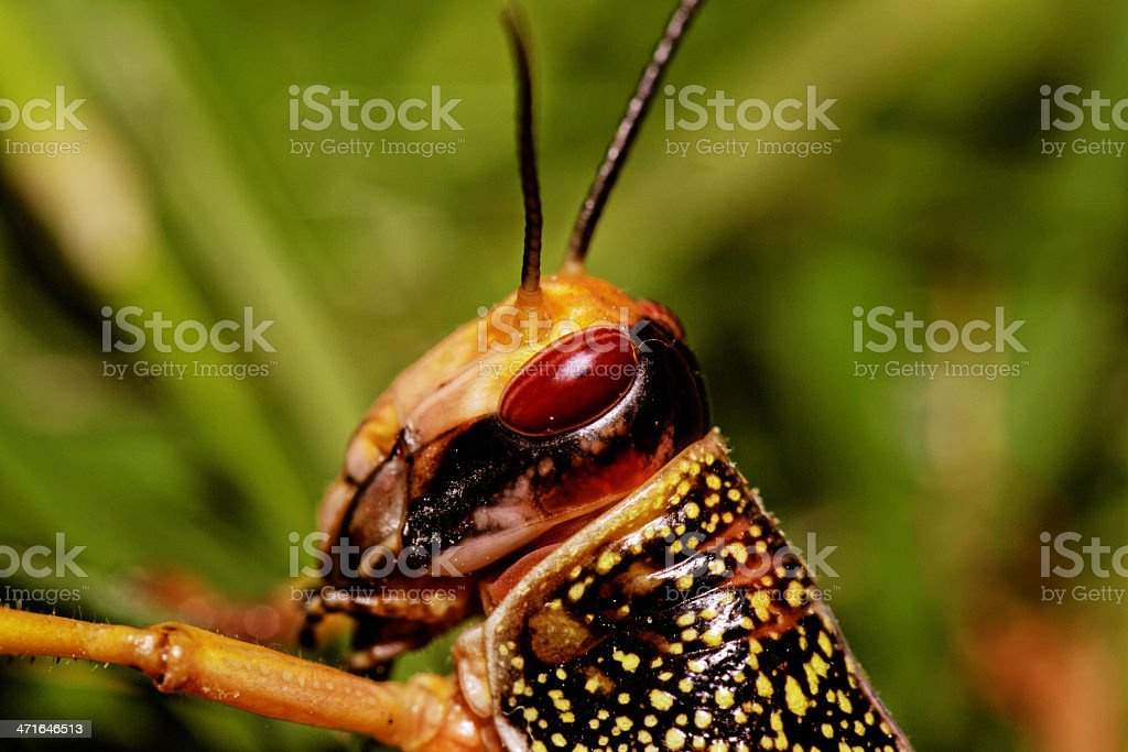 one locust eating royalty-free stock photo