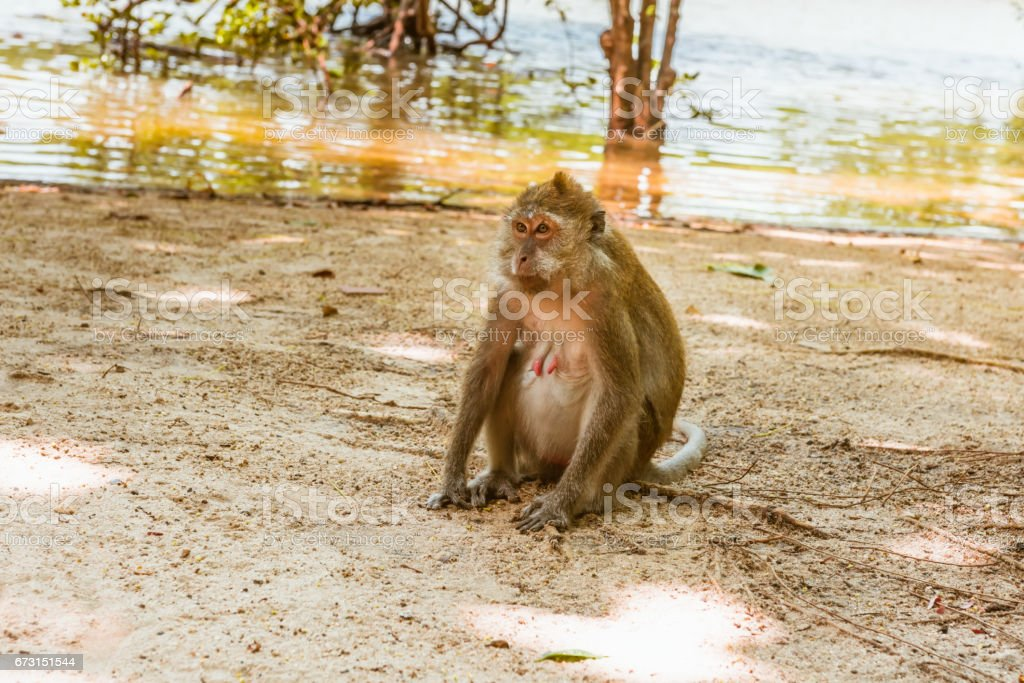 One macaque monkey on riverside stock photo