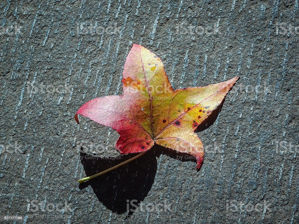 one maple leaf changing colors in the fall stock photo