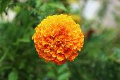 one marigold on green blur background