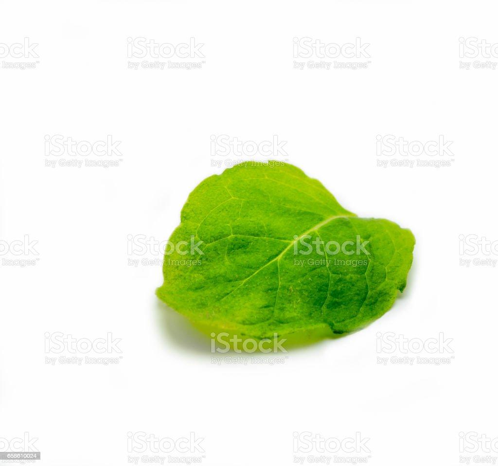 one Mentha leaf, Fresh mint on white background stock photo