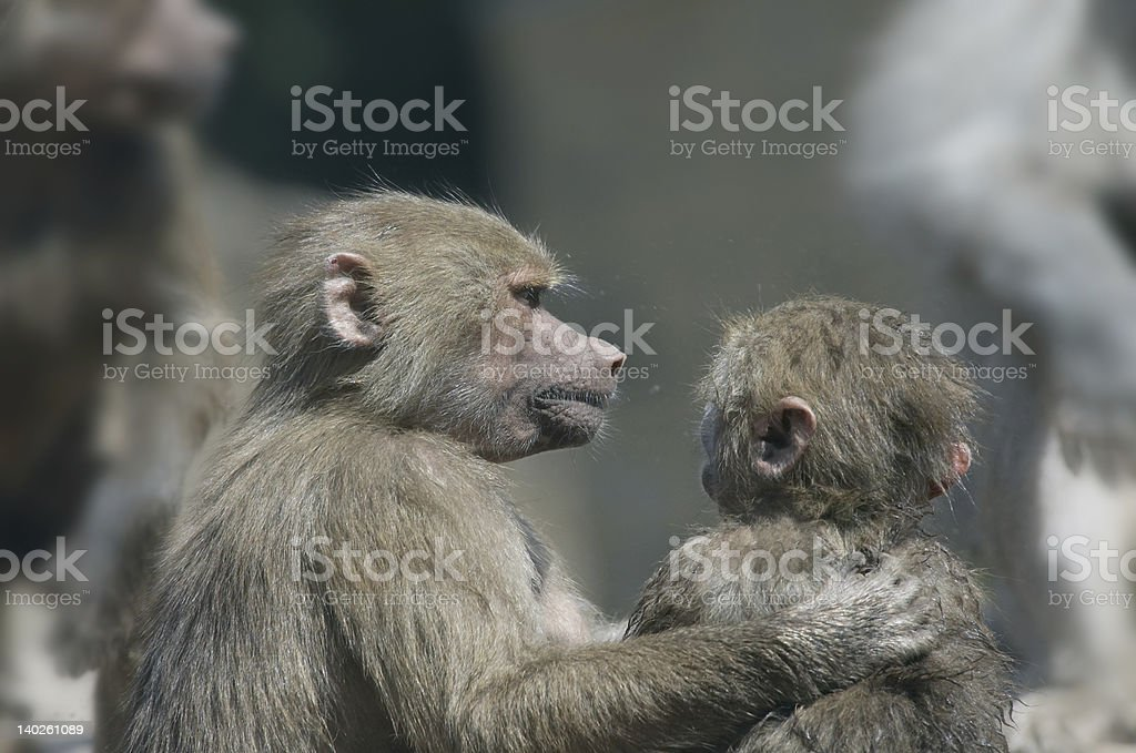 One monkey giving advice to another royalty-free stock photo