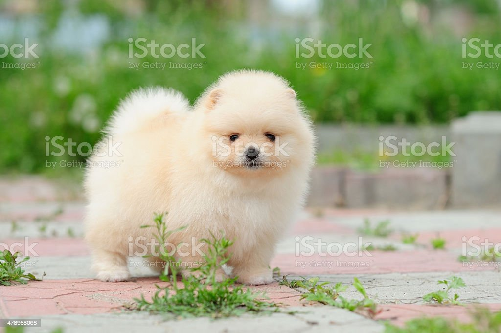 One month old puppy of german spitz standing stock photo