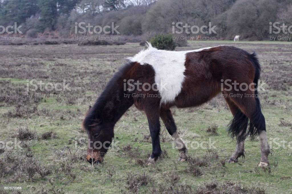 One New Forest pony with piebald colouring grazing stock photo