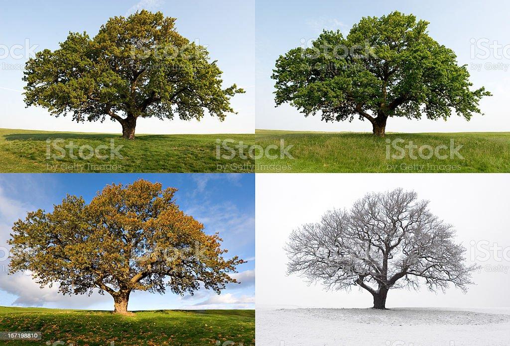 One Oak - Four Seasons stock photo
