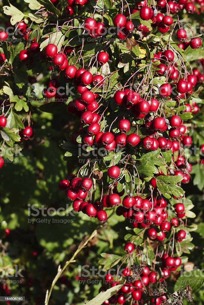 Red shower of hanging haw berries Crataegus monogyna royalty-free stock photo