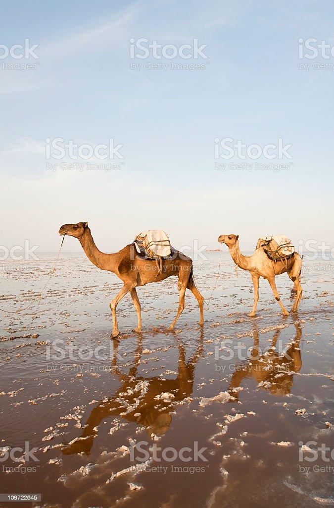 One of the last salt caravans, Danakil Desert, Ethiopia royalty-free stock photo