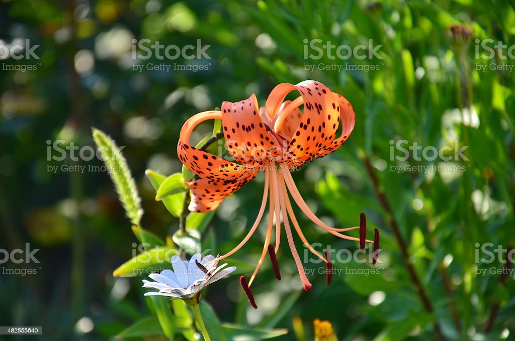 One orange color royal lily stock photo