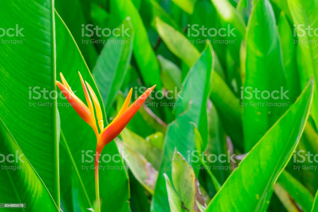 One orange heliconia flower with green leaves in garden for plantation or cultivation for background and texture. stock photo