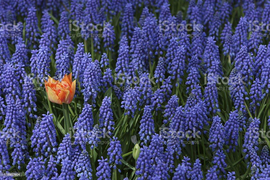 One Orange Tulip amongst Many Blue Grape Hyacinth royalty-free stock photo