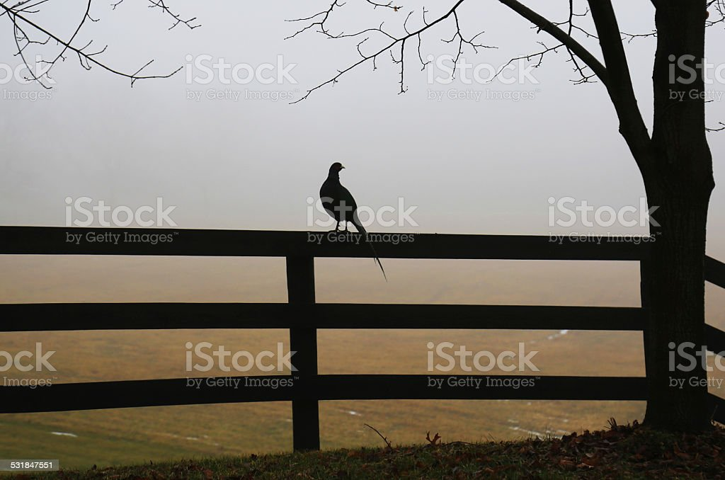 One pheasant sitting on a fence stock photo