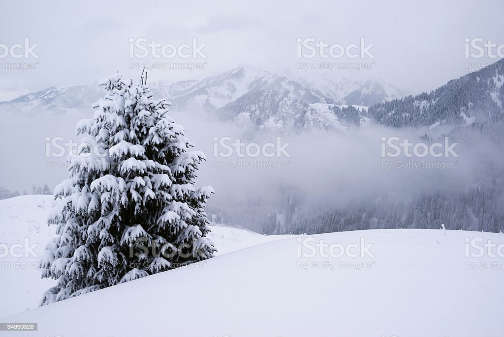 One pine tree and snow royalty-free stock photo
