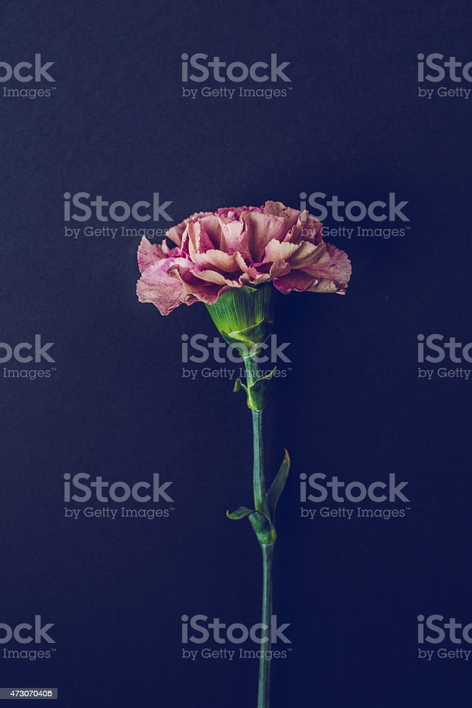 One pink Carnation flower stock photo