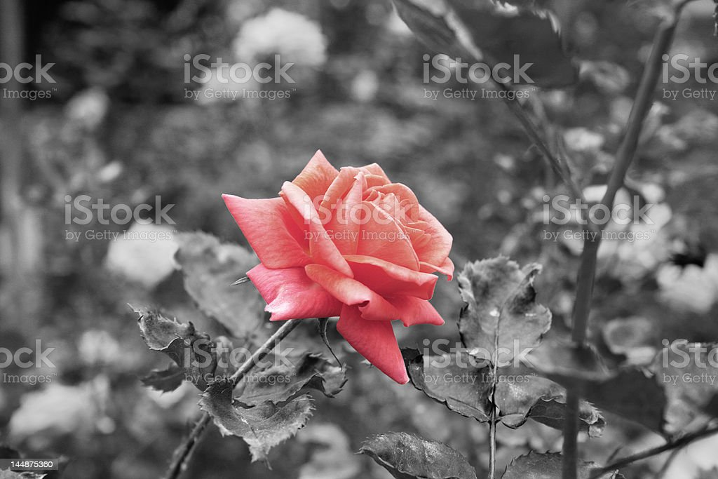 One Pink Rose in a Garden royalty-free stock photo