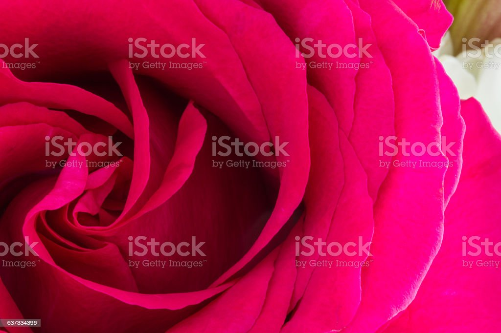 One pink rose low-key close-up stock photo